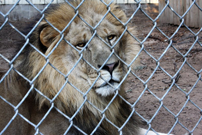 This is King 1 of the Lions Kathy have